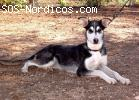 [ADOPTADA] Cruce de Husky en adopcion ( Fatima ) 11 meses