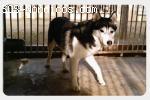 [Hembra] - Siberian Husky - Mina - Barcelona