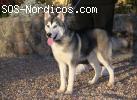 [ADOPTADO] - Siberian Husky - 6 meses