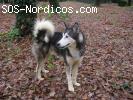 [ADOPTADO] - Siberian Husky - 3 años - Junco - Galicia