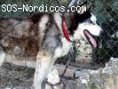 [Macho] - Siberian Husky - 9 años - Ciudad Real
