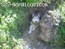 [ADOPTADA] [Hembra] - Alaskan Malamute - Jaen