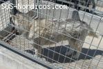 [ADOPTADO] - Siberian Husky en Perrera Ponferrada