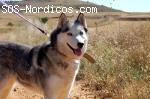 [Hembra]  - Siberian Husky - 6 años - Palencia
