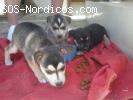 [Sin Pistas] - NERA, MACA Y TINA Cachorros X Husky