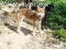 [Macho] - Siberian Husky - Córdoba - Joven