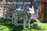 [ADOPTADA] - Siberian Husky - Madrid - 8 años