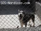 [Casa Acogida o Adopcion] - Siberian Husky - Joven - Jaen