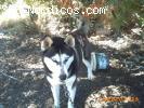 [ADOPTADA] [Hembra] - Siberian Husky - 2 años - Cadiz