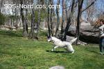 [ADOPTADA] [Hembra] - Siberian Husky - 2 años