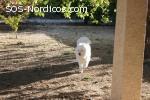 En adopción precioso samoyedo
