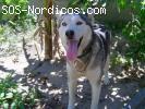 [SIN PISTAS] [Hembra] - Siberian Husky - 4 años - Andalucia