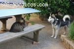 [ADOPTADO] [Macho] - Siberian Husky - Joven - Sevilla