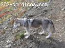 [Macho] URGENTE - Siberian Husky 9 años - Madrid