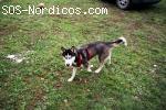 [Hembra] - Siberian Husky - Huesca - Shiva
