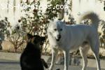Cruce de malamute blanco busca hogar - Huesca/Lerida