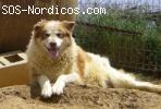 [ADOPTADA] [Hembra] - Siberian Husky - Zamora - Gordi